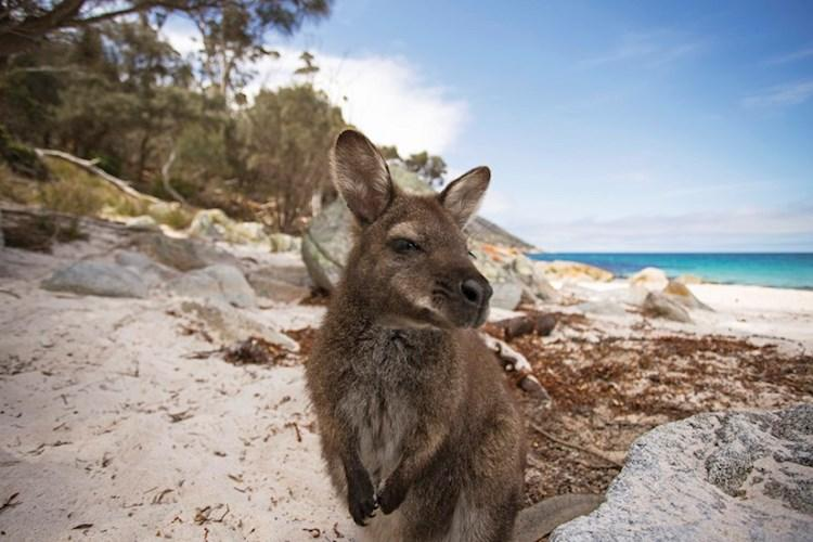 Freycinet National Park wallaby - Tourism Australia.jpg
