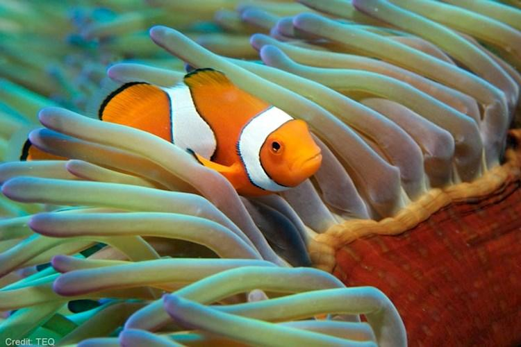 Great-Barrier-Reef-5-Day-Scuba-Diving-Course-Clown-Fish.jpg