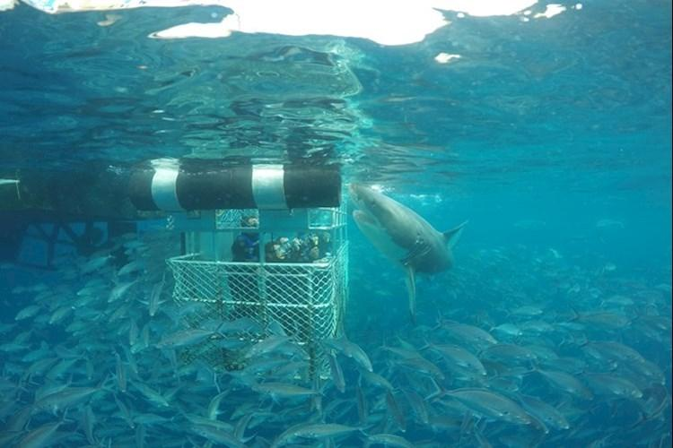 Shark Cage Dive Special - Tuna Swim.jpg
