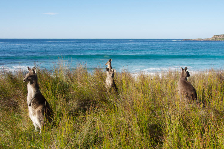 1. kangaroos keeping watch in batemans bay australia_shutterstock