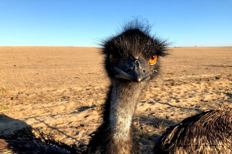 Pinnacles Tour- Hello Emu.jpg