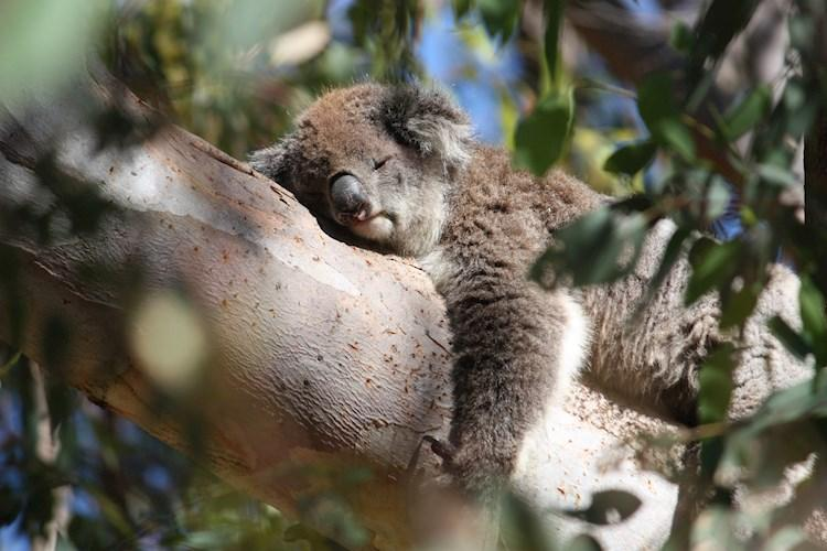 Pinnacles Tour- Koala sleeping.jpg