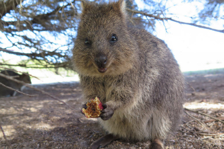 7. quokka credit Flickr