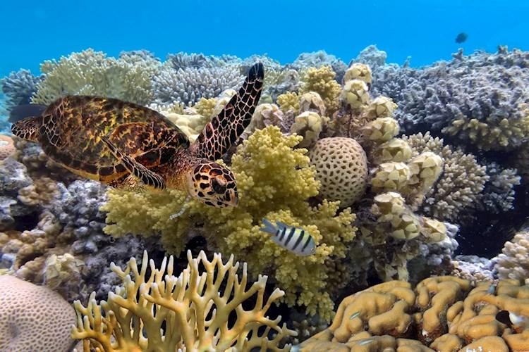 Green Turtle Great Barrier Reef - Vlad61 - Shutterstock.jpg