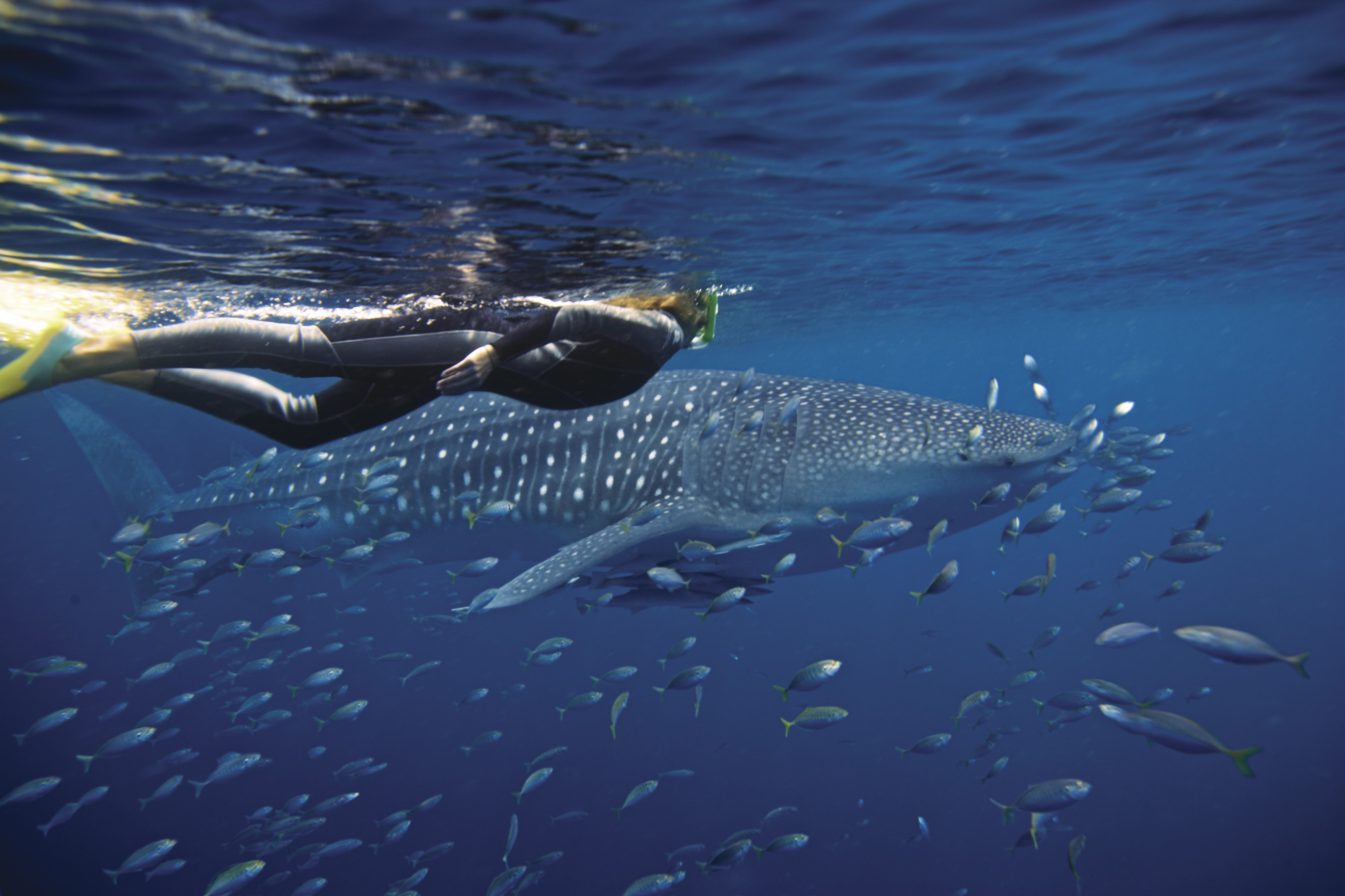 Exmouth_Ningaloo Reef_credit Tourism Australia_snorkelling