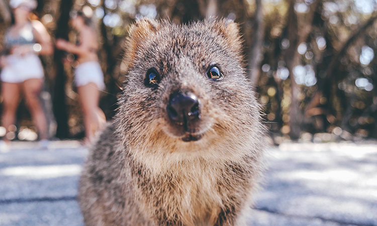 Quokka on Rottnest Island near Fremantle and Perth