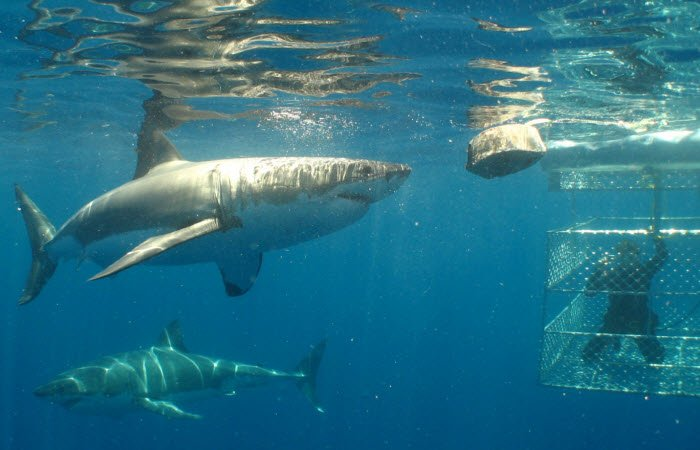 Shark cage diving credit Calypso Star Charters