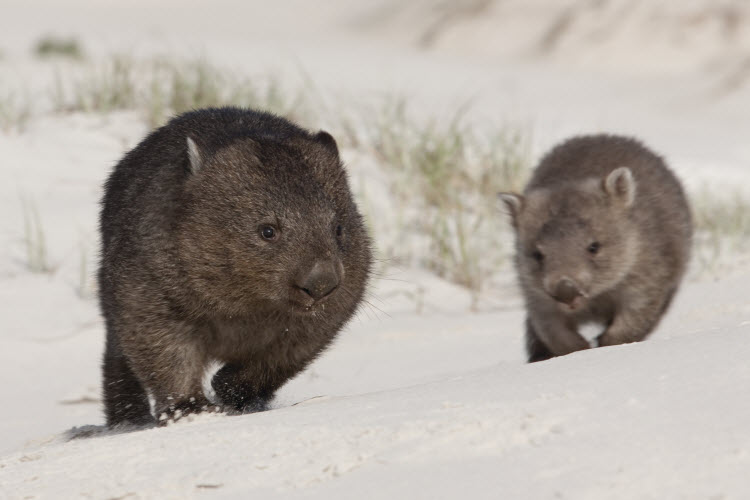 Wombats on the Bay of Fires walk credit Tourism Australia