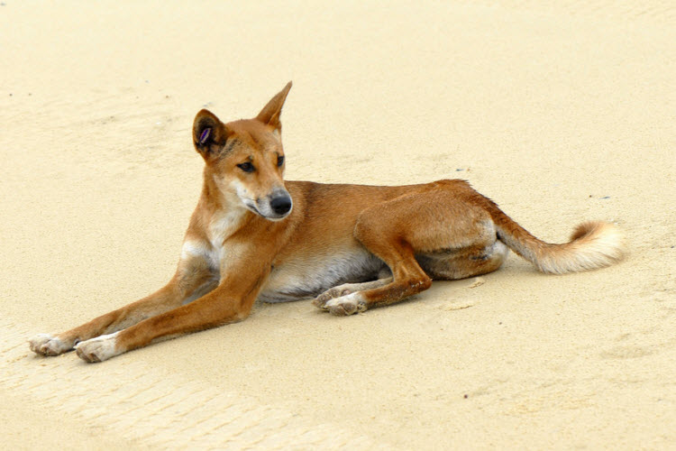 Fraser Island dingo credit Sam Fraser-Smith Flickr