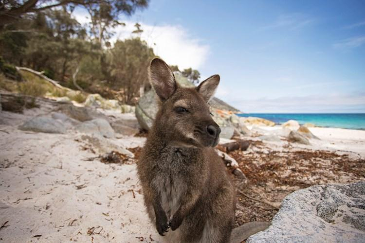 Freycinet National Park wallaby_Tourism Australia.jpg