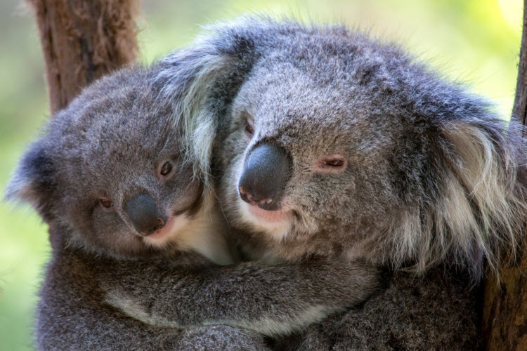 These affectionate koalas