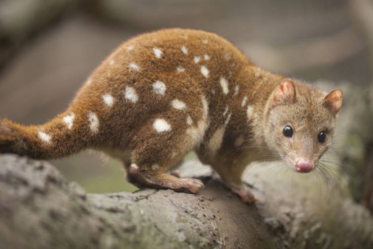 This tiger quoll that's more adorable than fearsome
