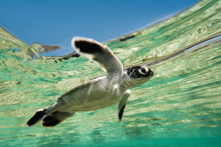 This green turtle hatchling learning to swim