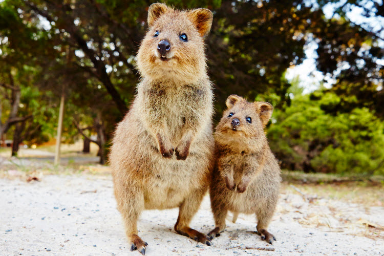 These quokkas who are so sweet that sugar wouldn't melt in their mouths