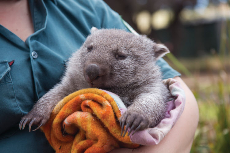 This chubby wombat that desperately needs a manicure