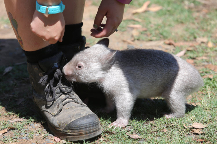 This baby wombat who's trying to learn how to tie his shoelaces
