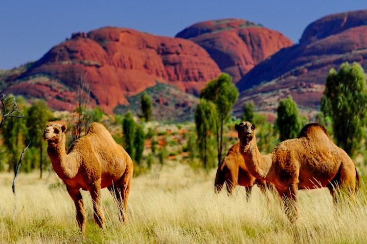 The Rock Tour- Wild Camels